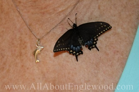 Raising Black Swallowtail Butterflies in my livingroom was ...